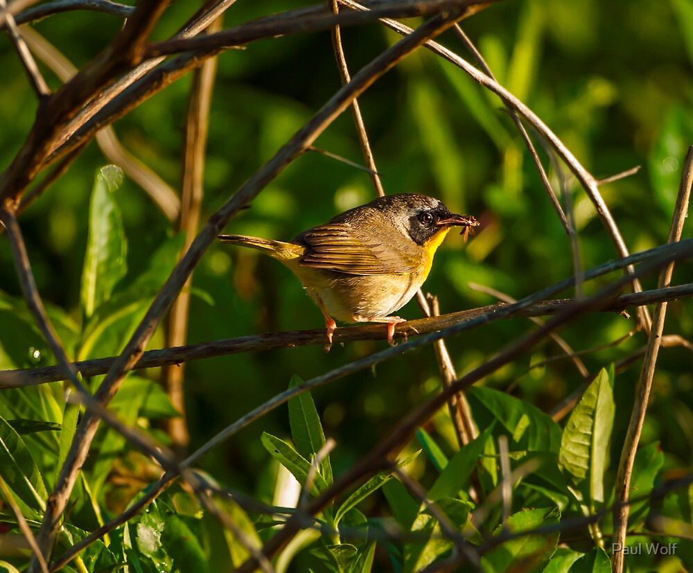 Common Yellowthroat by Paul Wolf