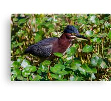 Green Heron in Breeding Plumage and with Raised Crest Canvas Print