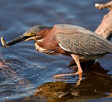 Green Heron with a Fish by Paul Wolf