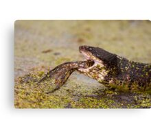 Moccasin Eating Bullfrog with Only Feet Left Canvas Print