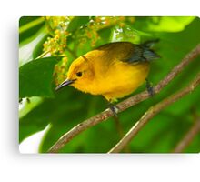 Male Prothonotary Warbler Canvas Print