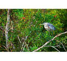 Great Blue Heron Environment Photographic Print