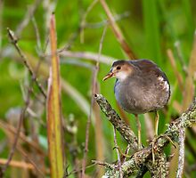 Juvenile Purple Gallinule in a Tree by Paul Wolf