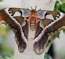 Cobra Moth by hummingbirds