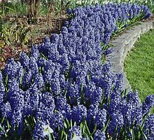 Brilliant Sea of Blue  Hyacinth by seeingred13