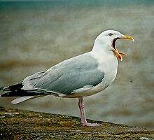 Noisy Herring Gull by Tarrby