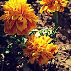 Marvelous Marigolds by Maddy Nicole