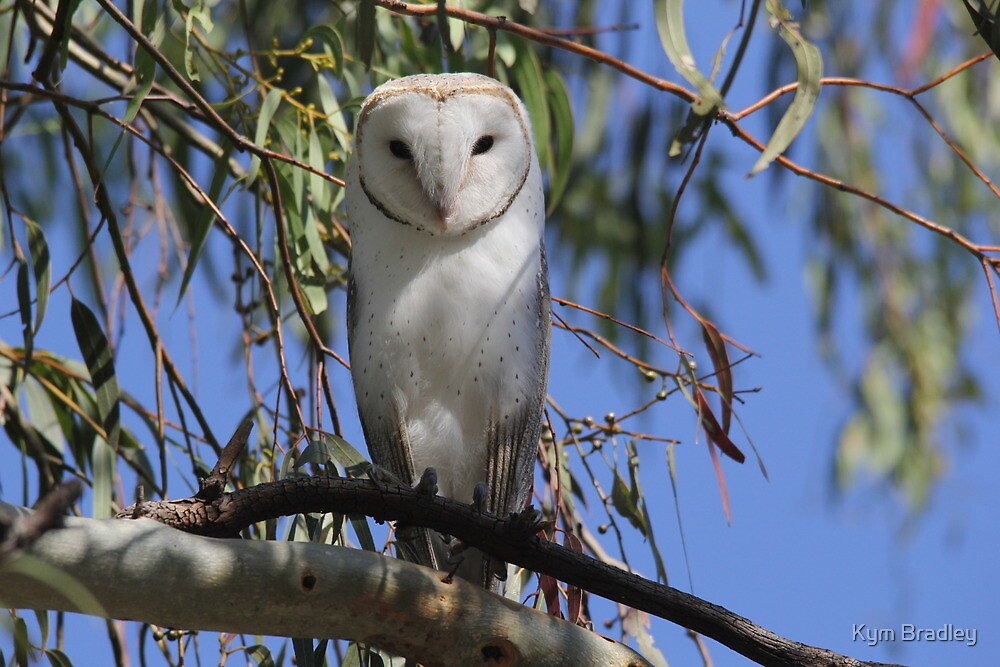 Where is my Barn Owl,  Canberra Australia  by Kym Bradley