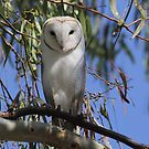 Where is my Barn Owl,  Canberra Australia  by Kym Bradley