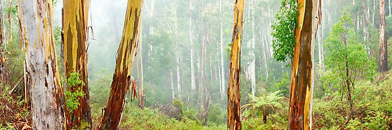 Foggy Forest, Otways National Park, Victoria, Australia by Michael Boniwell