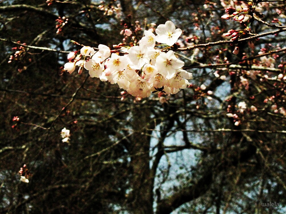 Cherry Blossom Special© by walela