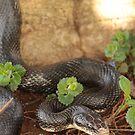 Black Snake by elasita