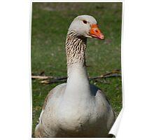 Canadian Snow Goose Poster