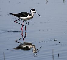 Black-necked Stilt (Himantopus mexicanus): When Larvae Metamorphose, Waders Feast by John Williams