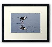 Black-necked Stilt (Himantopus mexicanus): When Larvae Metamorphose, Waders Feast Framed Print