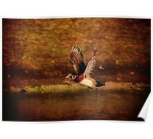 Wood Duck Taking Off Poster