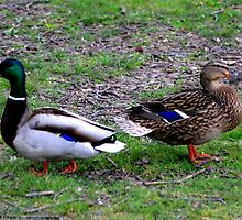 Mallards by Meghan1980