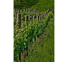 Vineyard III Photographic Print