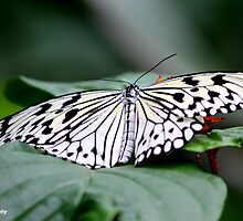White Butterfly by Meghan1980