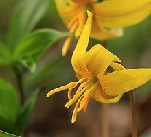 Trout Lilies in Yellow by Lynn Gedeon