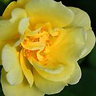 Carpet Rose by Debbie Oppermann