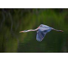 Blue Heron in Flight Photographic Print