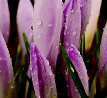 purple tulip buds by lainer15