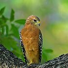 Red-shouldered Hawk by photosbyjoe