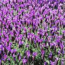 Field of Purple by NancyC