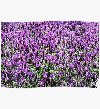 Field of Purple Poster