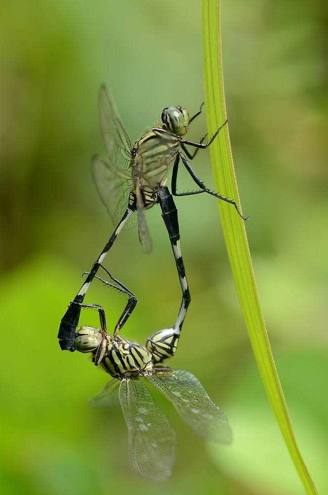 Dragon fly by Ardhymuhammad