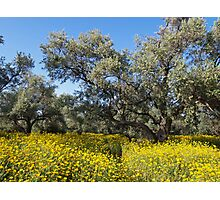 The Old Olive Grove 2 Photographic Print