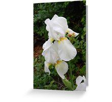 white Iris Greeting Card