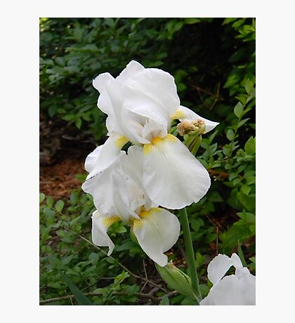 white Iris Photographic Print