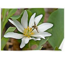Hoverfly - Syrphid Fly - on Bloodroot Wildflower Poster