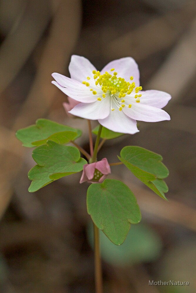 Rue Anemone Wildflower - Pink - Thalictrum thalictroides by MotherNature