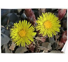 Coltsfoot Poster
