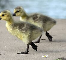 Walk like a Gosling by Kimberly Palmer