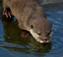 Asian Short-clawed Otter by alan tunnicliffe