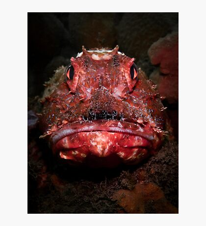 Portrait of a Red Rock Cod Photographic Print
