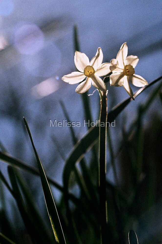 White Daffodils in the Sun by Melissa Holland
