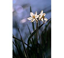 White Daffodils in the Sun Photographic Print