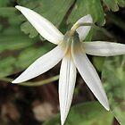 White Trout Lily by Lynn Gedeon