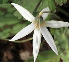 White Trout Lily by Lynn Gedeon