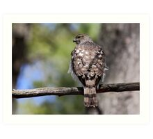 Coopers Hawk Art Print