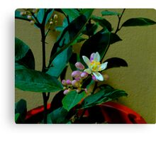 Lemon Tree Flower Canvas Print