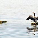 Double-crested Cormorant  by Winston D. Munnings