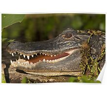 Alligator at Wekiwa Springs Poster
