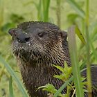 Otter on West Lake Toho by Matthew Elliott