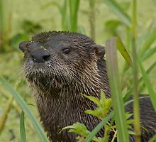 Otter on West Lake Toho by Matthew Elliott